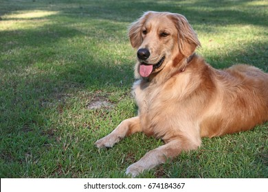 Golden Retriever lying in the grass panting