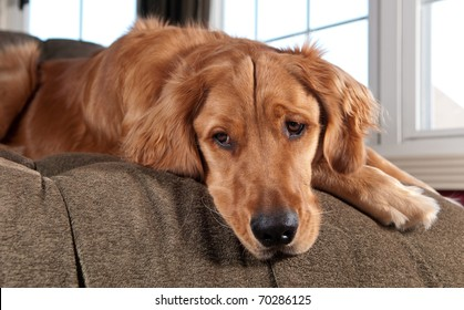 Golden Retriever lying on a chaise lounge and looking down.