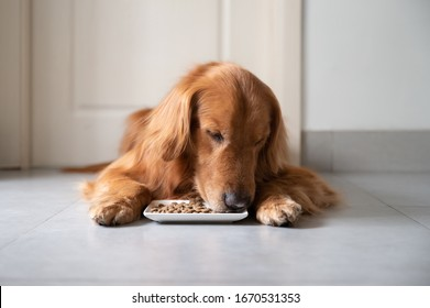 Golden retriever lying on the floor eating dog food