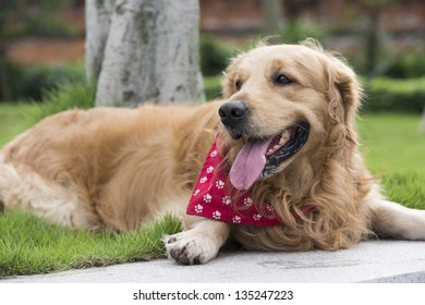 A golden retriever lying on the grass