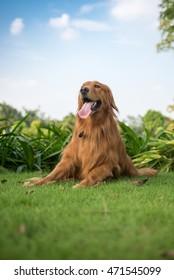 The golden retriever lying on the grass