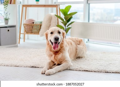 Golden retriever lying on light floor