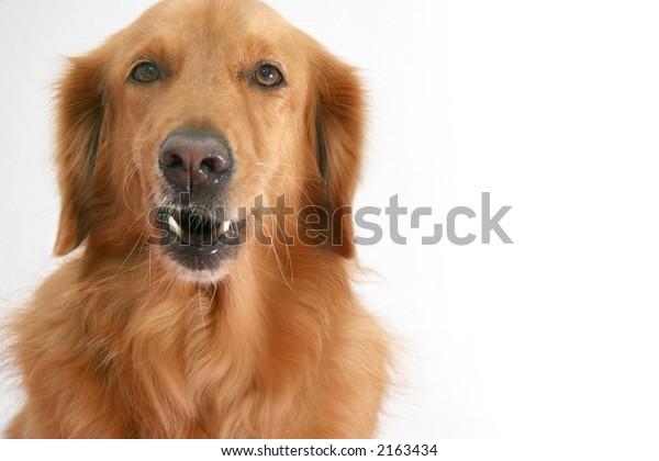 Golden retriever making a semi growl face