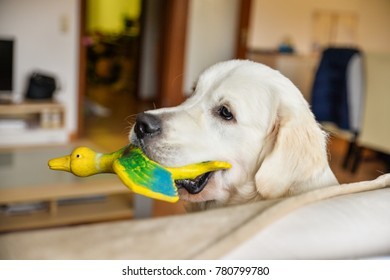 Golden Retriever male playing indoors holding a toy in his mouth