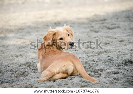 Golden Retriever Mix Puppy Looks Over Stock Photo Edit Now