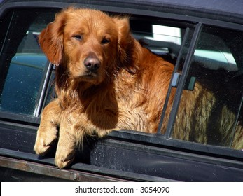 Golden Retriever mixed breed hanging out of the back window of a pickup truck