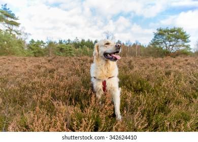 Golden retriever in nature