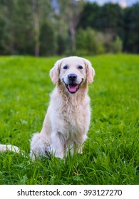 golden retriever obedient and happy sitting in green mountain meadow