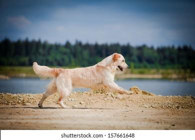 Golden retriever on the beach near the water