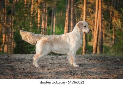 golden retriever on the forest