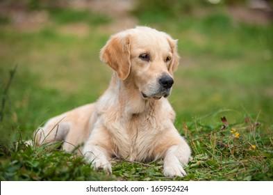 golden retriever on the grass