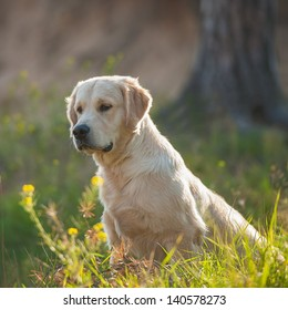 golden retriever on the hunt