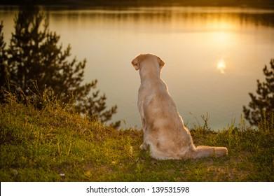 golden retriever on the lake