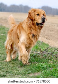 Golden Retriever on the lookout