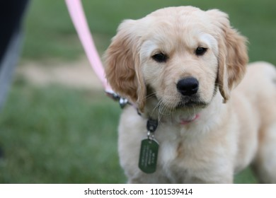 Golden Retriever on a Pink Leash with an inquisitive look.