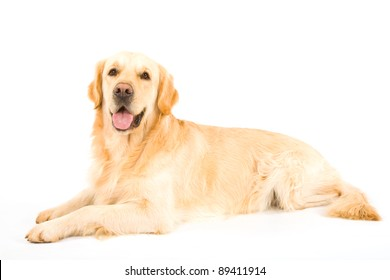 Golden Retriever on white