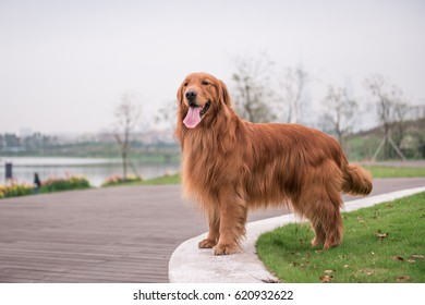 The Golden Retriever in the outdoor on the grass