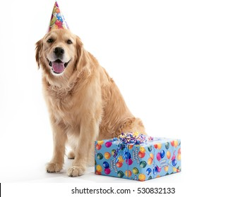 Golden retriever party dog isolated on white background