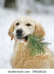 Golden retriever with a pine branch.