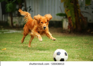 Golden Retriever playing with ball in grass field