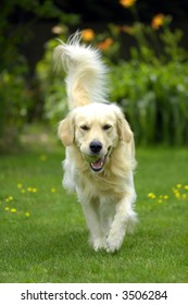 Golden retriever playing fetch in the park