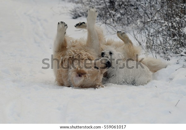 Golden Retriever playing with a four months old West Highland White Terrier