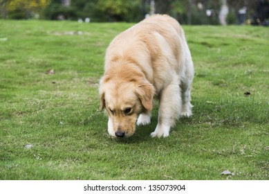 A golden retriever playing on the grass