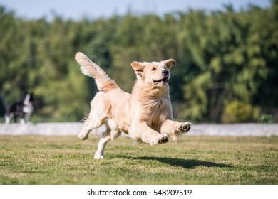 Golden retriever playing on the grass