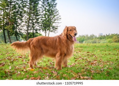 Golden Retriever playing in the park