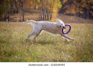 golden retriever playing with puller on field against autumn landscape