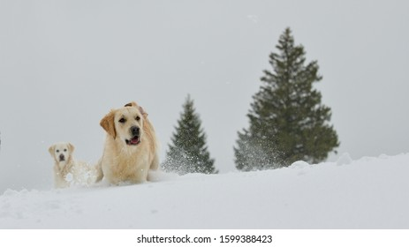Golden Retriever playing in the snow in front of two firs, with second Golden Retriever in the background