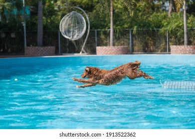 Golden Retriever playing in the swimming pool