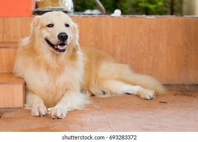 golden retriever playing ,walking,stand,sleep,and close up nose