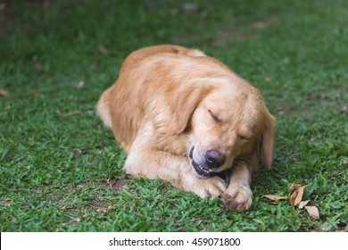 golden retriever is pondering in the grass.