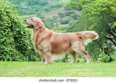 Golden retriever posing