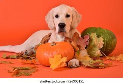 Golden retriever with pumpkins on the orange background
