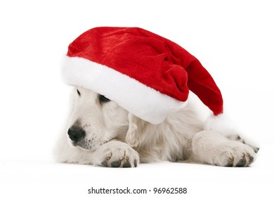 golden retriever pup with santa hat,resting
