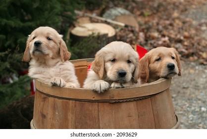 golden retriever puppies in barrel