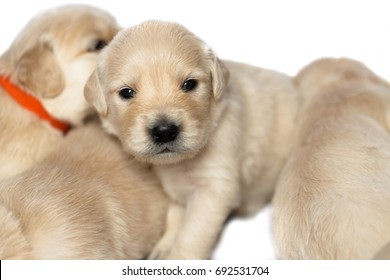 Golden retriever puppies on white background