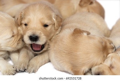 Golden retriever puppies on white background, one puppy yawning