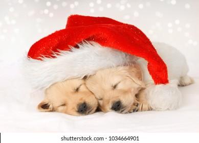 Golden retriever puppies sleeping under a christmas hat