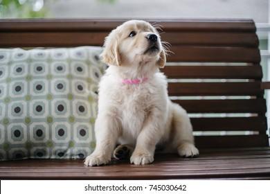 Golden Retriever Puppy Images, Stock Photos & Vectors
