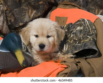 Golden Retriever puppy (8 weeks) sitting on his owners duck hunting equipment.
