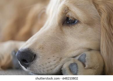 Golden Retriever puppy close up
