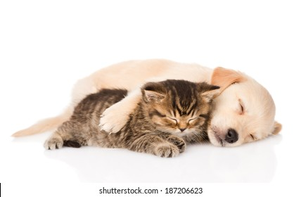 golden retriever puppy dog and british cat sleeping together. isolated on white background