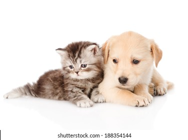 golden retriever puppy dog and british tabby cat lying together. isolated on white background
