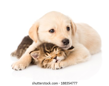 golden retriever puppy dog hugging sleeping british cat. isolated on white background