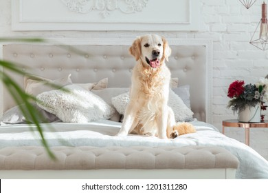 Golden retriever puppy dog in luxurious bright colors classic eclectic style bedroom with king-size bed and bedside table, green plants. Pets friendly  hotel or home room.