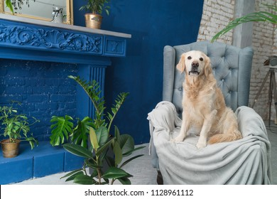 Golden retriever puppy dog on gray armchair in house or hotel lobby. Classic style with green plants cement blue brick fair place walls living room interior art deco apartment. Pets friendly concept.