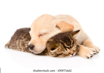 golden retriever puppy dog sleep with british kitten. isolated on white background